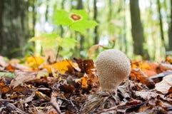 Молодое perlatum Lycoperdon гриба растя в лесе Стоковые Фото