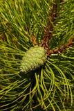 Молодое pinecone окруженное длинными иглами черной сосны стоковое изображение rf
