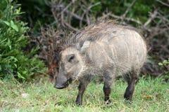 Молодое warthog Стоковая Фотография