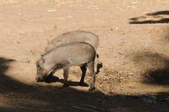 Молодое Warthogs Стоковые Изображения