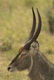 Молодое waterbuck Стоковое Изображение RF