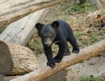 Молодой азиатский черный медведь Стоковое Фото