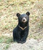 Молодой азиатский черный медведь Стоковая Фотография
