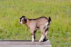 Молодой бежевый ребенк козы стоя на деревянной платформе Стоковые Изображения