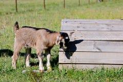 Молодой бежевый ребенк козы стоя рядом с деревянной платформой Стоковые Изображения