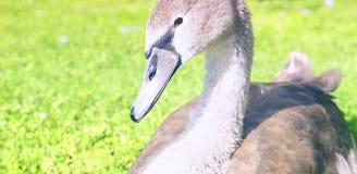Молодой безгласный лебедь, молодой лебедь стоковая фотография