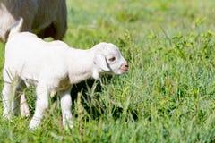 Молодой белый миниатюрный ребенк козы стоя в солнечном свете Стоковое Изображение