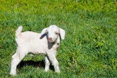 Молодой белый миниатюрный ребенк козы стоя в травянистом paddock Стоковое фото RF