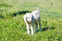 Молодой белый ребенк козы стоя в солнечном свете в поле Стоковые Изображения RF