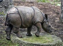 Молодой большой индийский носорог Стоковое Изображение RF