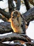 Молодой большой Horned сыч острова медового месяца Стоковые Изображения RF