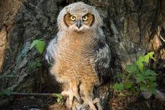Молодой большой Horned сыч против дерева плюща и хлопока отравы Стоковые Фотографии RF