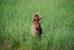 Молодой бурый медведь стоя вверх Стоковое Изображение RF
