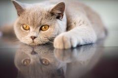 Молодой великобританский кот shorthair daydreaming стоковое изображение