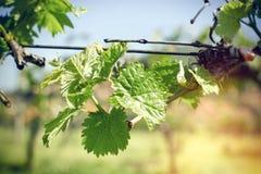 Молодой виноградник виноградного вина весной - молодой стоковые фото