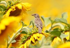 Молодой воробей дома с семенем в своем клюве Стоковые Фото