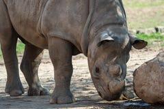 Молодой восточный черный носорог стоковая фотография
