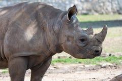 Молодой восточный черный носорог стоковые изображения rf