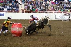 Молодой всадник Bull Стоковые Изображения