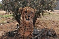 Молодой гепард смотря меня стоковые изображения rf