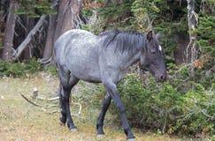 Молодой голубой Roan мустанг дикой лошади жеребца на Sykes Ридже в ряде дикой лошади гор Pryor в Монтане США Стоковая Фотография