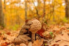 Молодой гриб парасоля в лесе осени Стоковое Изображение