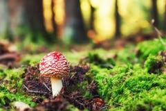Молодой гриб пластинчатого гриба мухы в солнечном лесе осени Стоковая Фотография RF