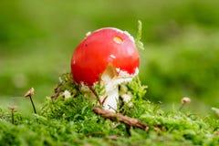 Молодой гриб пластинчатого гриба мухы в солнечном лесе осени Стоковые Изображения