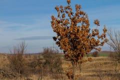 Молодой дуб Стоковые Изображения RF