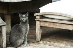 Молодой женский серый кот стоковая фотография rf