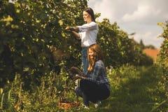 2 молодой женщины выбирая виноградины в винограднике Стоковое Фото