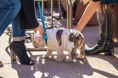 2 молодой женщины с ультрамодными ботинками ласкают/любимчик милый щенок бульдога на голубом поводке Стоковая Фотография RF