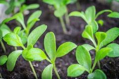 Молодой завод Первое прорастание семени Стоковое Фото