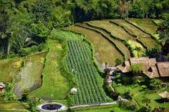 Молодой зеленый рис стоковая фотография rf