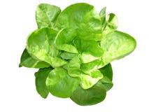 Молодой зеленый салат Стоковые Изображения RF