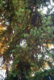 Молодой зеленый цвет пускает ростии иглы ели с bokeh Стоковые Изображения