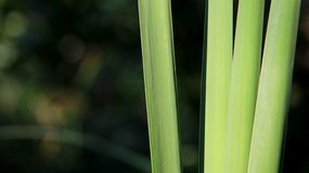 Молодой зеленый Reed Стоковые Изображения