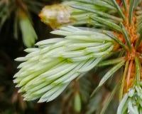 Молодой зеленый sprig ЕЛИ стоковое изображение rf