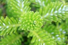 Молодой зеленый yew изгороди Стоковое Изображение