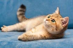 Молодой золотой великобританский кот с зелеными глазами лежит на голубой софе стоковое изображение