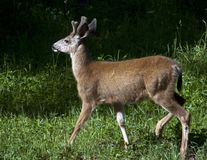 Молодой калумбиец Черно-замкнул самца оленя с Antlers бархата весной стоковое фото