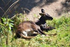Молодой кенгуру в одичалом Стоковые Изображения