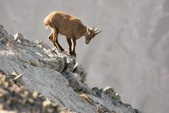 Молодой козерог стоит на утесе Стоковые Фотографии RF