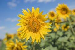 Молодой конец-вверх солнцецвета на котором пчела сидит на предпосылке голубого неба Стоковая Фотография RF
