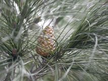 Молодой конус сосны на ветви с длинными иглами стоковое изображение