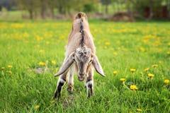 Молодой коричневый ребенк козы пася, ел траву на fu луга весны Стоковое фото RF
