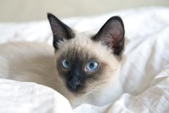Молодой кот, котенок, группа Сиама восточная, bobtail Меконга лежит Стоковые Изображения RF