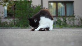 Молодой кот на конкретном поле, очищая мехе и игре, видео акции видеоматериалы