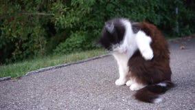Молодой кот на конкретном поле, очищая мехе и игре, видео сток-видео