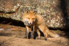 Молодой красный Fox лижет его губы Стоковые Изображения RF